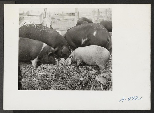 A close up of hogs eating garbage at the temporary location of the hog farm. The garbage is brought to the farm by trucks from the center. Photographer: Stewart, Francis Newell, California