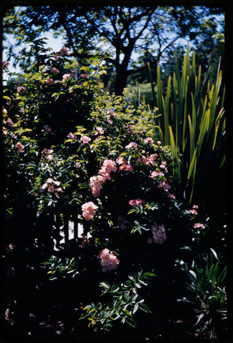 Pink multiflora rose on fence in the Luther Burbank Home & Gardens, Santa Rosa, California, 1959