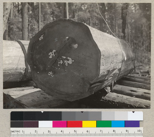 "Poria sequoiae on end of a large redwood log, about 75"" in diameter. The 2nd, 3rd, and 4th logs all bore sporophores at both ends. Top and butt logs were not seen. East of Carlotta, California. Down about 90 days. August 14, 1935. E.F"