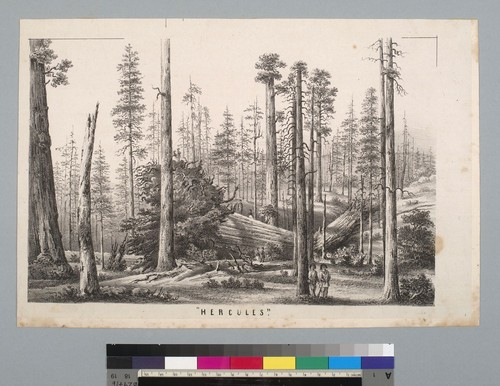 """Hercules"" [redwood, Mammoth Tree Grove, Calaveras County, California]"