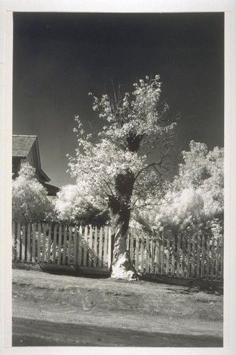 Infra red photo of old pear tree near Santa Cruz Mission
