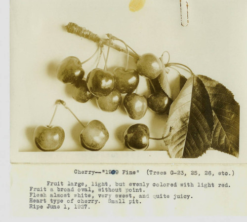 "Cluster of Luther Burbank cherries ""1909 Fine"" on a twig with single cherries, 1927"
