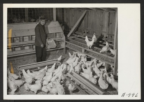 M. Nakamura, poultry caretaker, and former farmer of Sacramento, California, feeds four months old chickens. It is anticipated that the