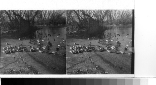 Calisphere Alexandra Va Wild Ducks In The Birds Sanctuary Of