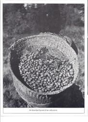 Basket full of tan oak acorns used by Pomo Indians as a food source