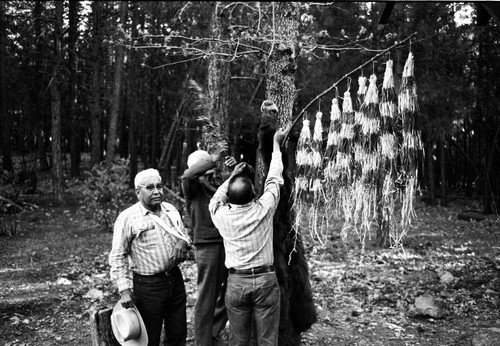 Frank Joseph, Tom Epperson, and Seymour Smith hanging up maple bark flag and bear skin to tree at Greenville Bear Dance--1971
