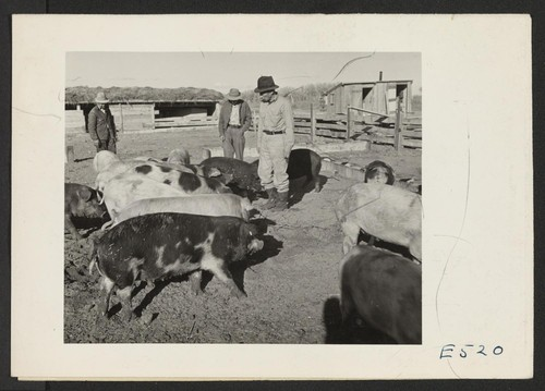 The Amache center hog farm foreman, Nakashima [Nakamura?], and two farm workers, with some of his fattening charges. These hogs, purchased young, are being fattened and bred as a nucleus of the hog farm. Photographer: Parker, Tom Amache, Colorado