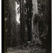 Among the California Redwoods, Virgin Timber Reg No. 5/Among the Redwoods in ...