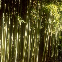 Bamboo outside Moon Temple and Council Room