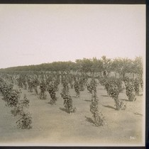 Almonds and Thompson's Seedless Grapes