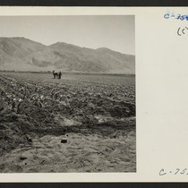 Manzanar, Calif.--Cultivating corn field on the project farm at this War Relocation ...