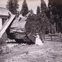 878. Section of the Original Big Tree, Diameter 30 feet; Calaveras County