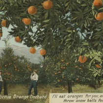 California orange orchard, 1905
