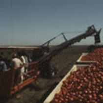 Blackwelder's Tow Type Tomato Harvester, Hastings Island (Rio Vista), California