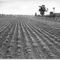 A 10-acre truck crop ranch at Compton, California, formerly farmed by Japanese, ...