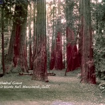 Cathedral Grove in Muir Woods, circa 1937 [postcard negative]
