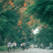 Flame trees in flower in Hue, Thua Thien-Hue Province