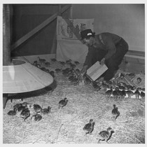 M. Iseri is shown feeding baby bronze turkeys on the poultry farm ...