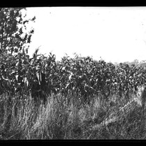 Golden Glow corn on John Cerini Ranch, Tomales, August 1922 [photograph]