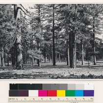 1 mile southwest of Old Station. Open stand of Ponderosa-Jeffrey pine. Shasta ...