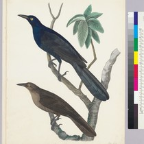 Cassidix mexicanus. Boat-tailed Grackle