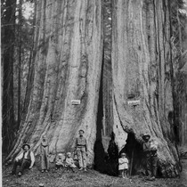 1895 Redwoods Photo, Sequoia National Forest