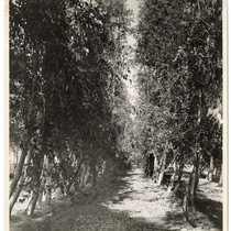Looking down a row of fruit trees