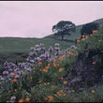 California Hills and Flowers