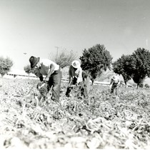Four Mexican workers topping sugar beets