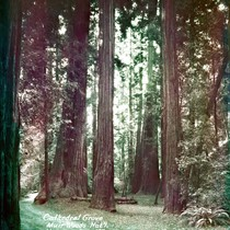 Cathedral Grove in Muir Woods, 1935 [postcard negative]
