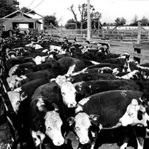 After the cattle are unloaded they are weighed in groups of ten ...