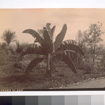 "Banana Plant. ""1--Yucca Palm. 2--Fan Palm. 3--Banana Plant. 4--Pampass Grass. The Banana ..."