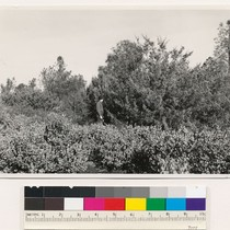 1 mile N. of Grass Valley. Miscellaneous conifer type (cypress). Assoc. spp.: ...