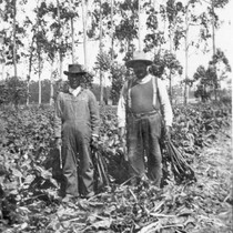 [Farmworkers in Oxnard beet field]