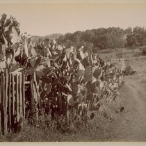 Cactus Hedge, at Lachryma Montis