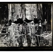 Among the California Redwoods, Tree 15 feet in Diameter [Redwood Falling in ...