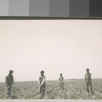 San Joaquin Valley Island. 1909. Hindu laborers. [Indian farm laborers tending field.]
