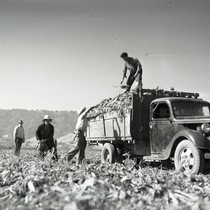 Four Mexican workers loading truck with sugar beets, one workers on top ...