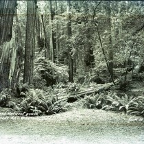 Ferns and redwood trees in Muir Woods, circa 1935 [postcard negative]