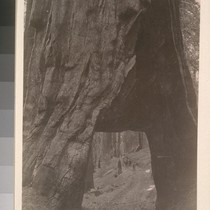 [Gaint redwood, with opening cut through. Unidentified location.]--7845