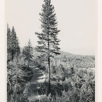 1 and 1/2 miles SW of Robinson Hill. Large immature ponderosa pine. ...