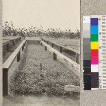 1-0 redwood seed beds - Fort Bragg Nursery. Sept. 1, 1923