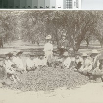 Orchard Workers with Tussock Moth Cocoons