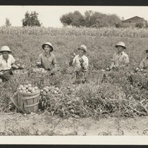 Harvesting tomatoes on the farm of Herman S. Heston in Newtown, Bucks ...