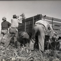 Four Mexican workers harvesting sugar beets beside a truck