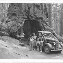 Wawona Tunnel Tree, 1939