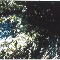 1975 Slide Show: Cultural Landmarks of South Pasadena: Arroyo Trees