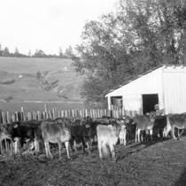 Cows in front of a barn, circa 1928 [photograph]