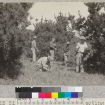 1925 Silviculture Class collecting cones from young, open stand of Bishop Pine ...
