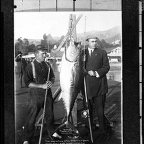 A.C. Brode standing with a leaping tuna he caught off Santa Catalina ...